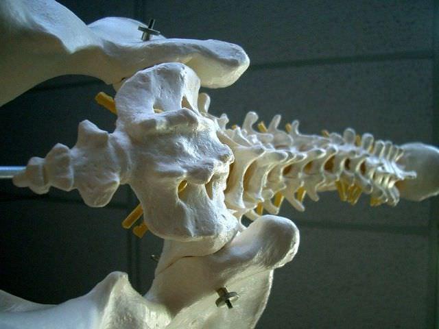 Макет копчиковой кости у человека