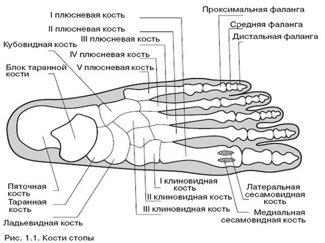 Кости стопы человека