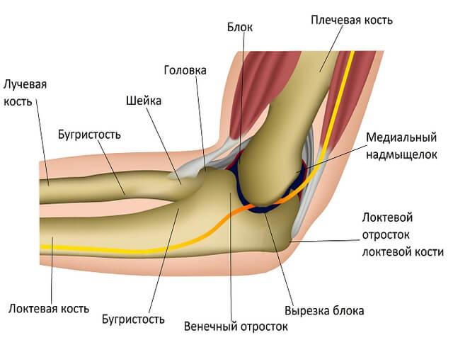 Схема составных частей локтя