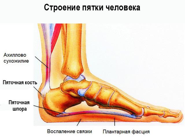 Кости и сухожилия