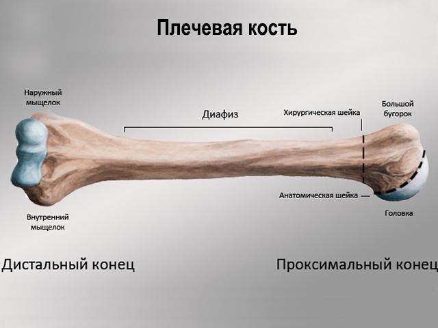 При переломе плечевой кости шина накладывается