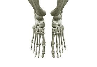 Скелет ноги человека фото с описанием костей