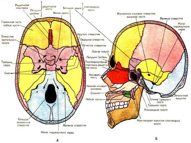 Схема расположения костей на черепе
