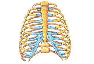 Строение и функции грудной клетки, строение и анатомия грудной мышцы позвоночника человека
