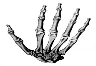 Строение пальца руки человека