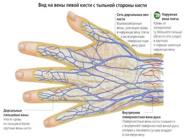 Кровообращение и нервы
