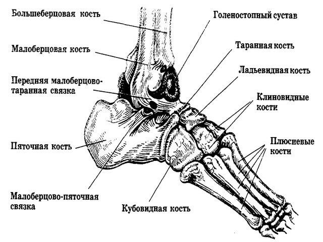 наряд подчеркнет строение ступни человека в картинках заражения