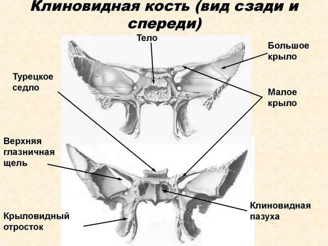Изображение клиновидной кости