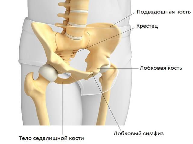Лобковая кость анатомия: ее строение и выполняемые функции