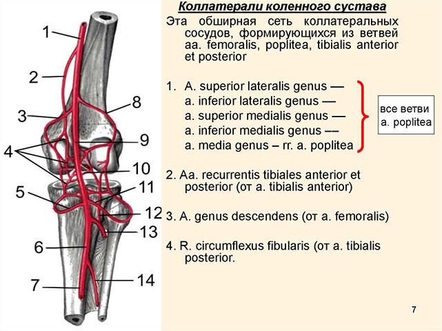 Изображение - Бурсы коленного сустава анатомия stroenie-kolennogo-sustava-4